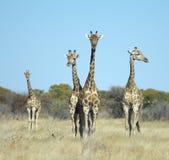 四头长颈鹿 免版税库存图片