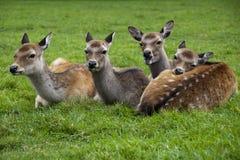 四头鹿 免版税库存图片