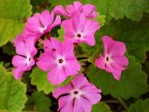 四季不断的报春花或樱草属在春天庭院 春天报春花花,樱草属西洋樱草 美好的颜色 库存图片