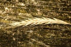 四季不断的黑麦,老黑麦 库存照片