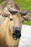 四川扭角羚(羚牛属taxicolor tibetana) 免版税库存照片