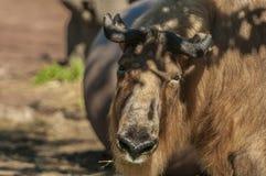 四川扭角羚(羚牛属taxicolor tibetana) 库存照片
