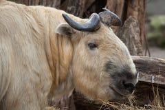 四川扭角羚(羚牛属taxicolor tibetana) 免版税库存图片
