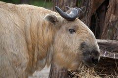 四川扭角羚(羚牛属taxicolor tibetana) 图库摄影