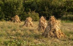 四干燥玉米栈 库存图片