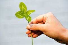 四有叶的三叶草在手中 有4片叶子的一棵植物 l的标志 图库摄影