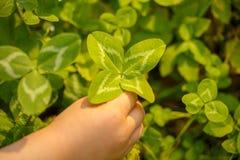四有叶的三叶草在手中 有4片叶子的一棵植物 l的标志 库存照片