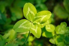 四有叶的三叶草在手中 有4片叶子的一棵植物 l的标志 库存图片
