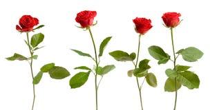 四朵查出的玫瑰 免版税库存照片