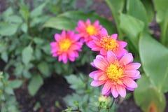四朵花特写镜头与明亮的桃红色进展在庭院里的瓣和黄色中心的 免版税库存图片