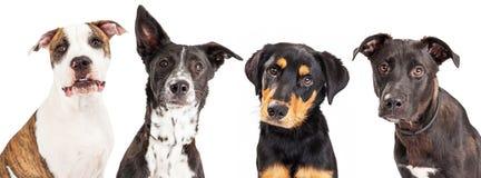 四条被混合的品种狗特写镜头 免版税图库摄影