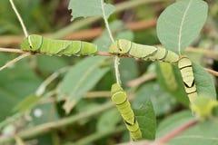 四条绿色swallowtail毛虫 库存图片