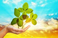 四棵叶子三叶草在手中反对日落天空 免版税图库摄影