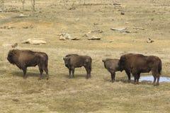 四欧洲野牛在草原 库存照片