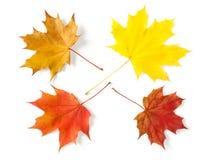 四片叶子槭树 库存照片