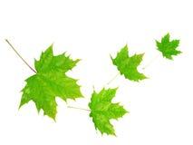 四片叶子槭树 免版税库存图片