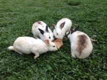 四白色和棕色兔子 免版税库存图片