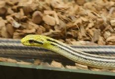 四线的蛇 库存照片
