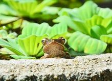 四线的雨蛙 免版税库存照片