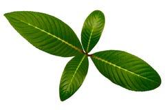 四绿色叶子 免版税库存照片