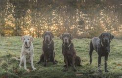 四美丽的labradors 免版税图库摄影