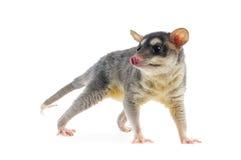 四被注视的负鼠- Metachirus Nudicaudatus 免版税库存图片