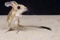 四趾jerboa/Allactaga teradactyla 库存图片