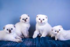 四逗人喜爱的苏格兰人折叠与蓝眼睛的shorthair银色颜色点小猫 库存照片