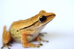 四青蛙排行了结构树 免版税图库摄影
