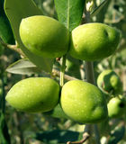 四颗绿橄榄结构树 免版税库存照片