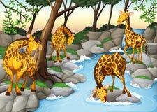 四头从河的长颈鹿饮用水 皇族释放例证