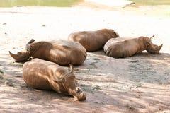 四头犀牛放置 库存照片