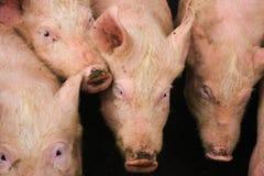 四头猪在猪圈 免版税图库摄影