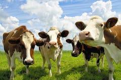 四头聊天的母牛 免版税库存照片