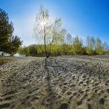 回到桦树早期的轻的早晨 库存照片