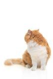 回到猫查找 免版税库存图片