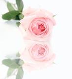 回到美好的玫瑰色工作室白色 库存图片