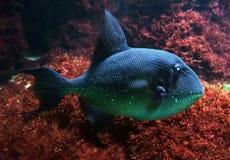 回到鱼红海 库存照片