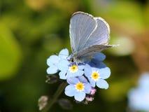 回声天蓝色的蝴蝶- Celastrina回声 图库摄影