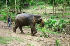 回家在一长的天的森林工作的大象拉扯以后从密林的日志 图库摄影