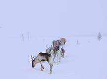 回家的驯鹿 免版税图库摄影