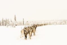 回家的驯鹿 免版税库存照片
