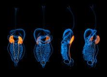 回报人的消化系统肾脏的3d 免版税库存图片