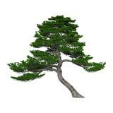 回报在白色的3D日本杉树 库存照片