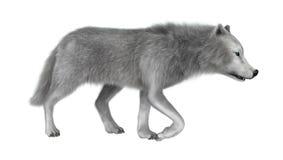回报在白色的3D极性狼 免版税库存图片
