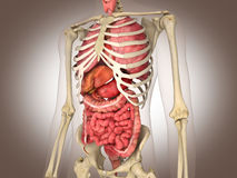回报小肠内脏的3D 图库摄影
