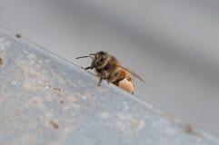 回来蜂蜜的蜂在家 库存照片