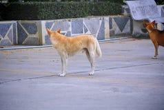 回顾两条街道的狗好奇地 免版税库存照片