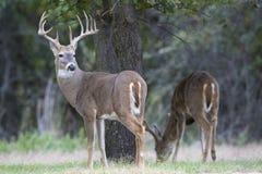 回顾在他的肩膀的成熟白尾鹿大型装配架 库存照片