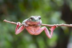 因为肋前缘查找了青蛙青蛙生长高典型地暗示命名尼加拉瓜其他巴拿马rica结构树结构树植被 图库摄影